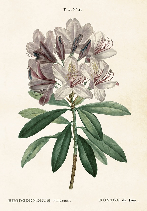 Poster Rhododendron