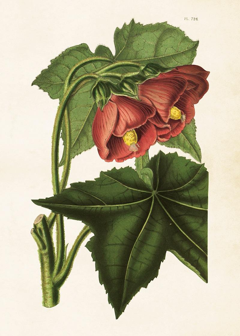 Poster Blomsterlönn