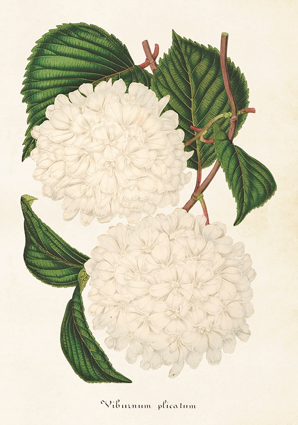 Poster Japansk Snöbollsbuske
