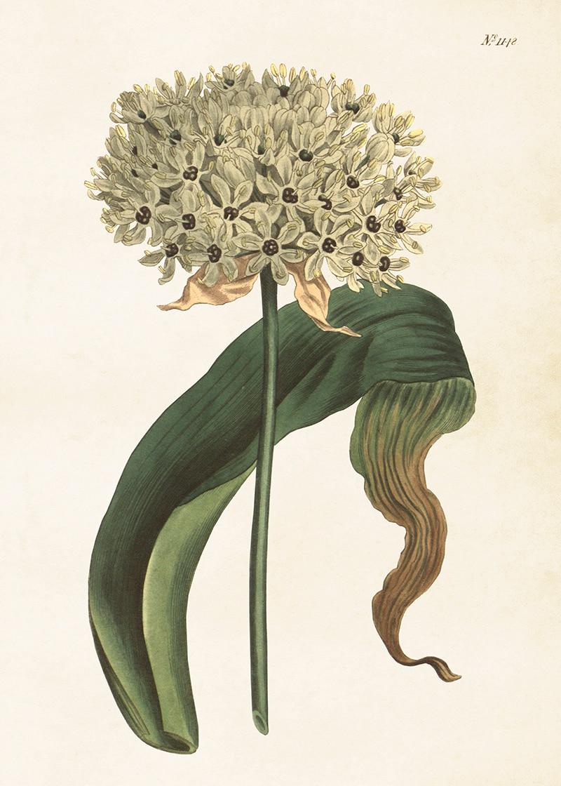 Poster Allium