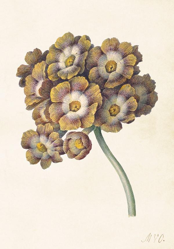 Poster Primula