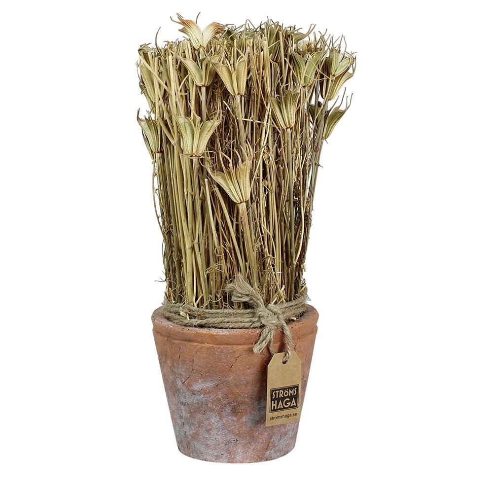 Harvest in Pot Black Caraway Medium