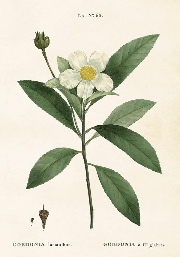 Poster Gardenia