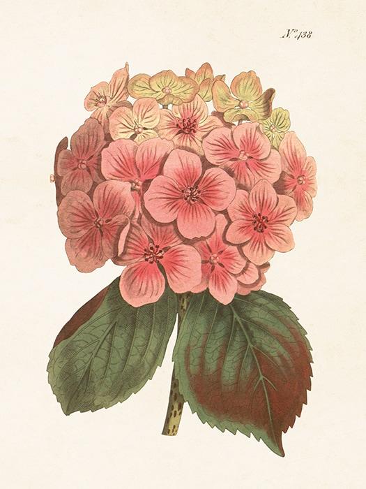 Poster Hortensia