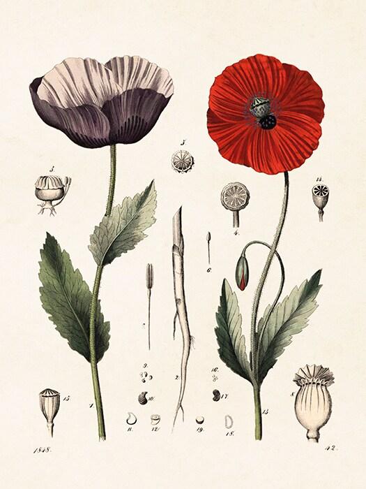Poster Vallmo