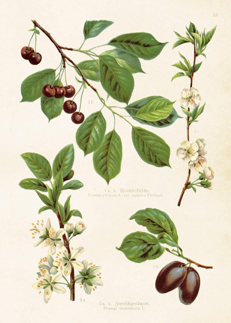 Poster Körsbär & Plommon