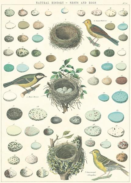 Poster Nests And Eggs