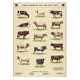 Poster Common Breeds Of Beef